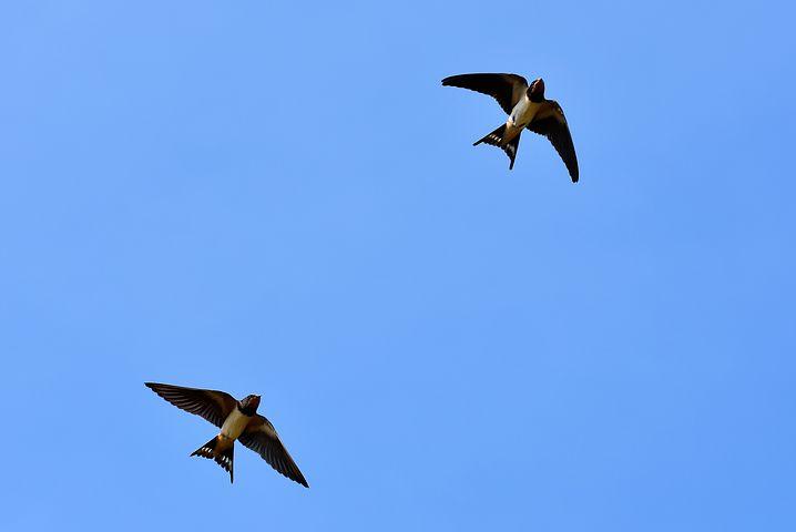 Aux hirondelles - Auguste Lacaussade Swallows-3850033__480