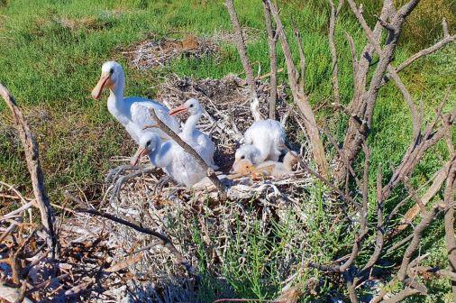 Nature : Pour les Spatules blanches, étape dans l'Aude avant l'envol vers l'Afrique