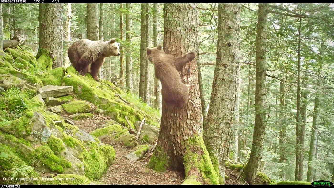 Pyrénées : Ours, une population et des naissances record